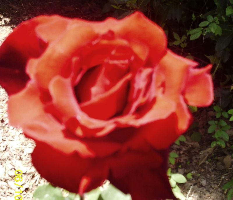 10.06.2013 ROSES 26300